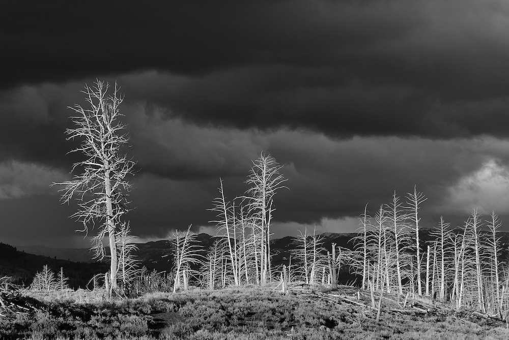 After a dark storm, the setting sun lights up fire damaged trees, Yellowstone National Park, Wyoming