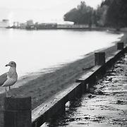 Seagull at Owen Beach - Point Defiance, WA