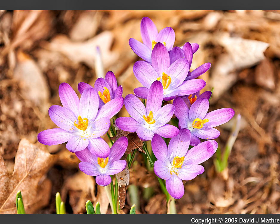 Purple crocus blooms. Late winter nature in New Jersey. Composite of 18 focus stacked images taken with a Nikon D3x camera and 200 mm f/2 lens (ISO 400, 200 mm, f/5.6, 1/500 sec). Raw images processed with Capture One Pro and Helicon Focus (method B)
