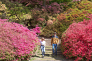 UNITED KINGDOM, London: 10 May 2017 Natasha Allder 25 and Sean Dwane 27 enjoy the weather as they take a stroll through thousands of colourful Azaleas in Windsor Great Park this afternoon. Rick Findler / Story Picture Agency