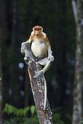 Proboscis Monkey<br /> Nasalis larvatus<br /> Male<br /> Sabah, Malaysia
