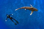 An endangered Oceanic White-tip Shark, Carcharhinus longimanus, swims offshore Cat Island, Bahamas, Atlantic Ocean. Image available as a premium quality aluminum print ready to hang.