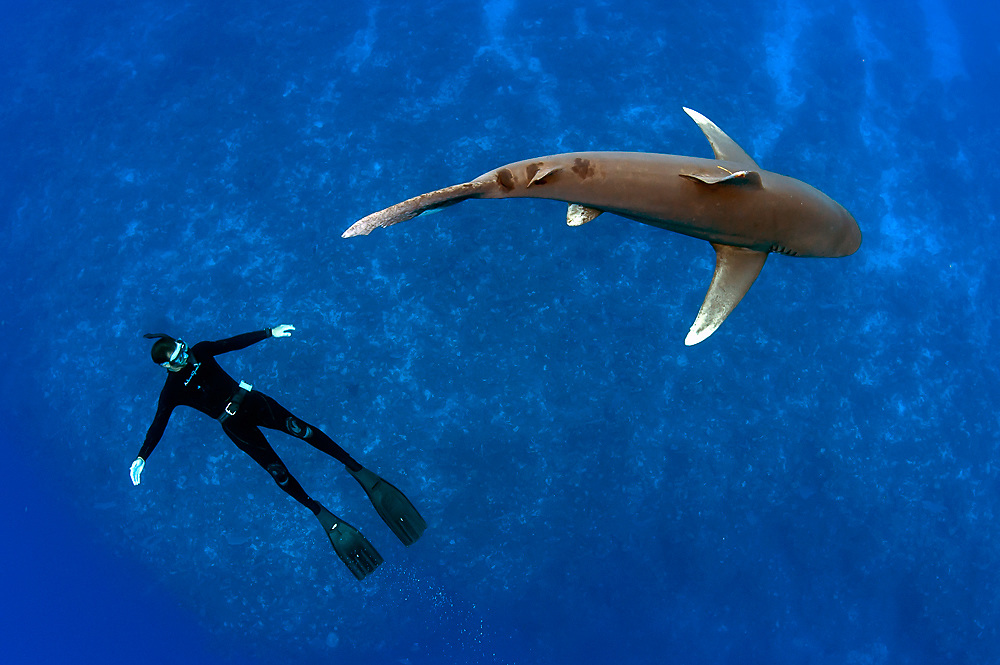 An endangered Oceanic White-tip Shark, Carcharhinus longimanus, swims offshore Cat Island, Bahamas, Atlantic Ocean. Image available as a premium quality aluminum print ready to hang.