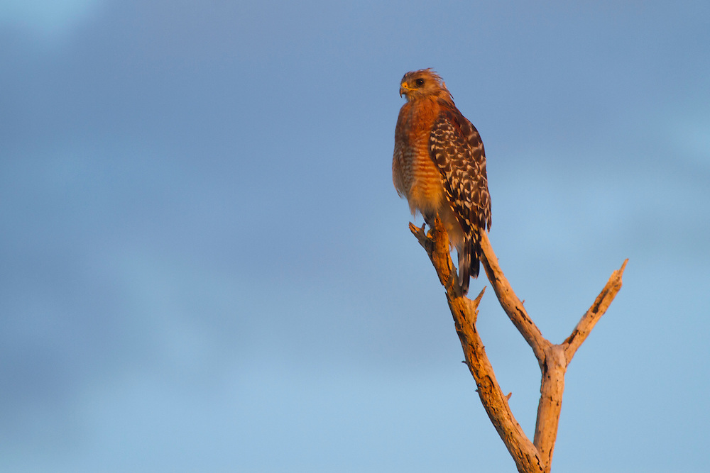 Red-shouldered Hawk, Everglades National Park.<br />