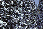 Spruce Trees, snow, Winter, Denali National Park, Alaska