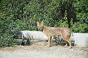 Golden Jackal (Canis aureus), also called the Asiatic, Oriental or Common Jackal, Israel.