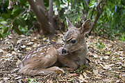 Black-tailed Deer<br /> Odocoileus hemionus<br /> Three-day-old orphaned fawn<br /> Kindred Spirits Fawn Rescue, Loomis, California
