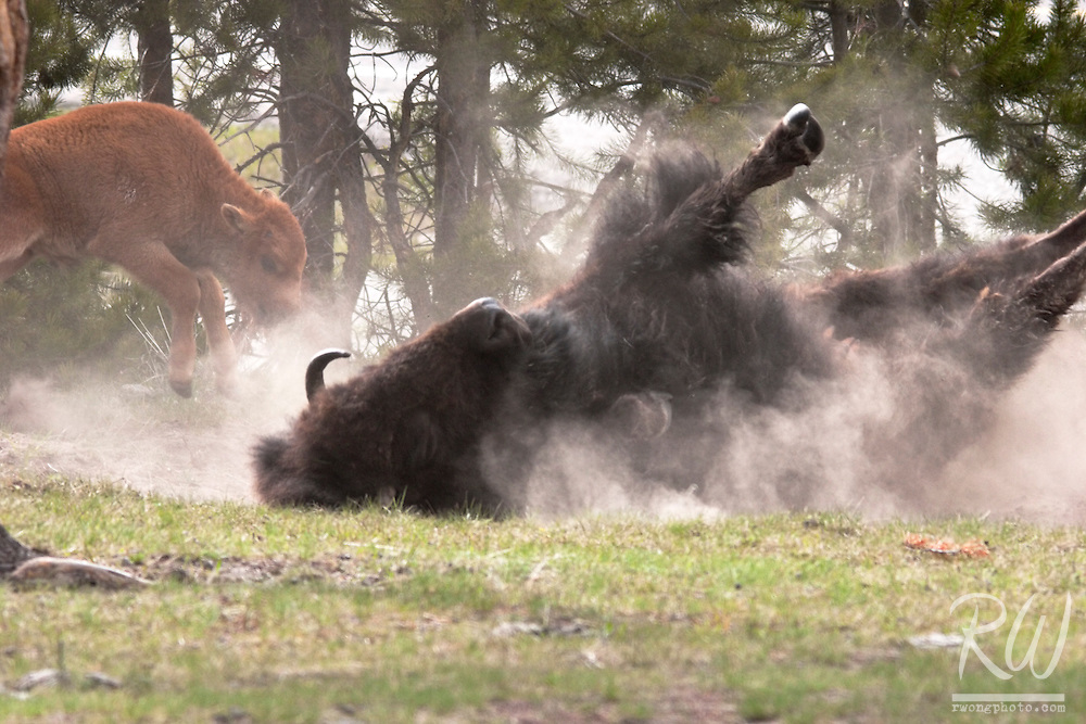 Adult Bison and Calf Playing in Dust Bath, Yellowstone National Park, Wyoming