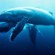 A humpback whale mother teaching her male calf how to breath and control his buoyancy, in the protected area of Roca Partida (Revillagigedo Islands, Mexico).