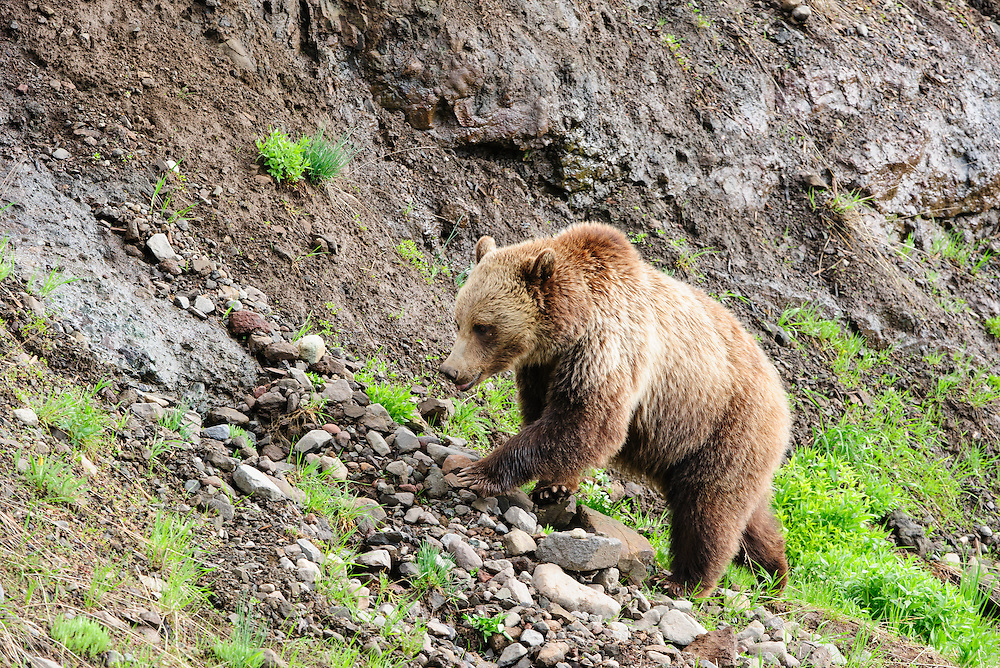 A grizzly bear (Ursus arctos) digs on a rocky slope looking for insects, Yellowstone National Park, Wyoming