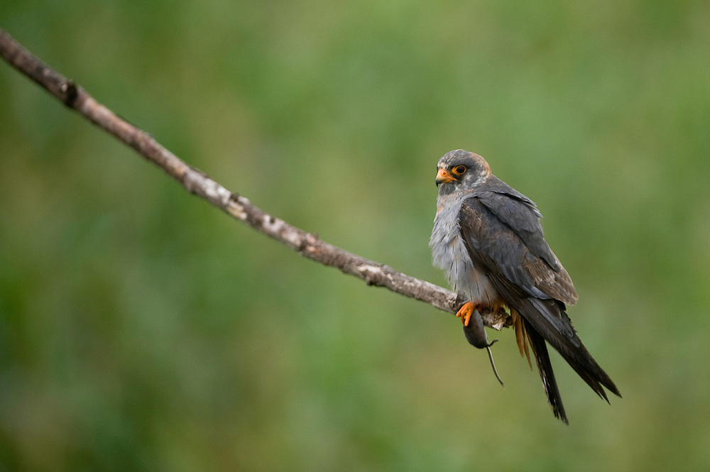 The Red-footed Falcon (Falco vespertinus) with a mouse in its claws at Hortobagy National Park, Hungary