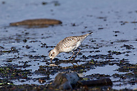 Dunlin (Calidris alpina), on mud flats near Cambell River, Vancouver Island, Canada   Photo: Peter Llewellyn
