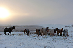 © Licensed to London News Pictures. 31/01/2019. Builth Wells, Powys, Wales, UK. Hardy Welsh mountain ponies are seen in the bitterly cold wintry landscape of the Mynydd Epynt range near Builth Wells in Powys, Wales, UK where temperatures dropped dramatically overnight to minus seven degrees centigrade (temperature certified by photographer) <br />  credit: Graham M. Lawrence/LNP