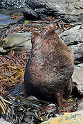 A large male southern sea lion bellows a warning to other nearby males