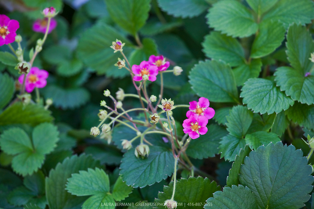 Lipstick strawberry plants greenfuse photos garden farm food the bright pink flowers of lipstick strawberry fragaria mightylinksfo