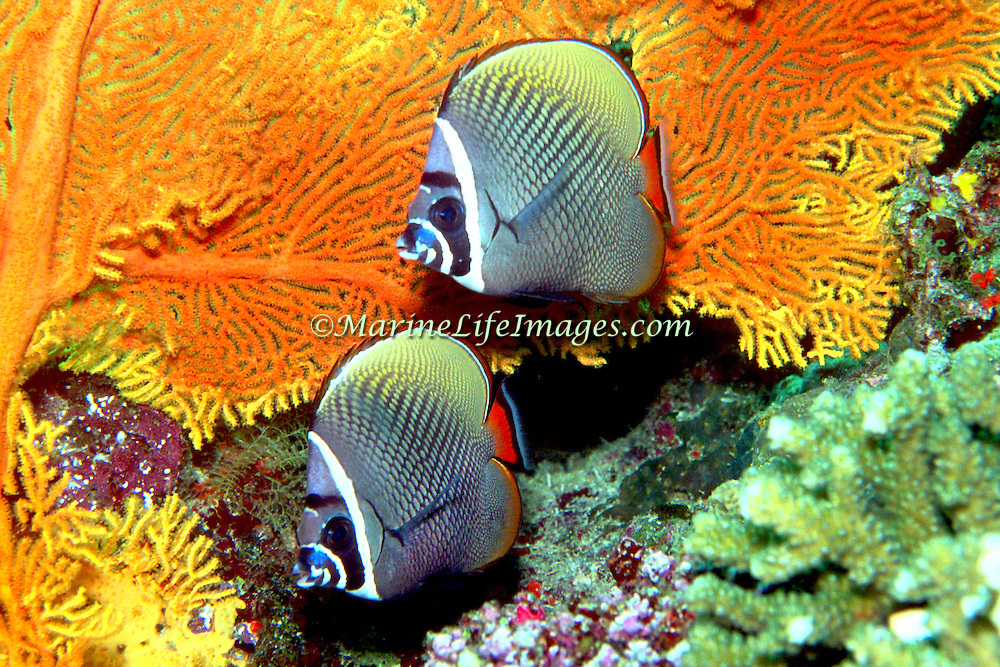 White Collar Butterflyfish inhabit reefs, occasionally form large schools. Picture taken Andaman Sea, Thailand.