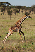 A juvenile Masai Giraffe (Giraffa camelopardalis tippelskirchi) also known as the Maasai Giraffe or Kilimanjaro Giraffe, is the largest subspecies of giraffe and the tallest land mammal. It is found in Kenya and Tanzania. Photographed in Serengeti National Park Tanzania