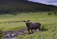 Moose - Alces alces. Visiting a mineral lick in the Rocky Mountains, Alberta, Canada