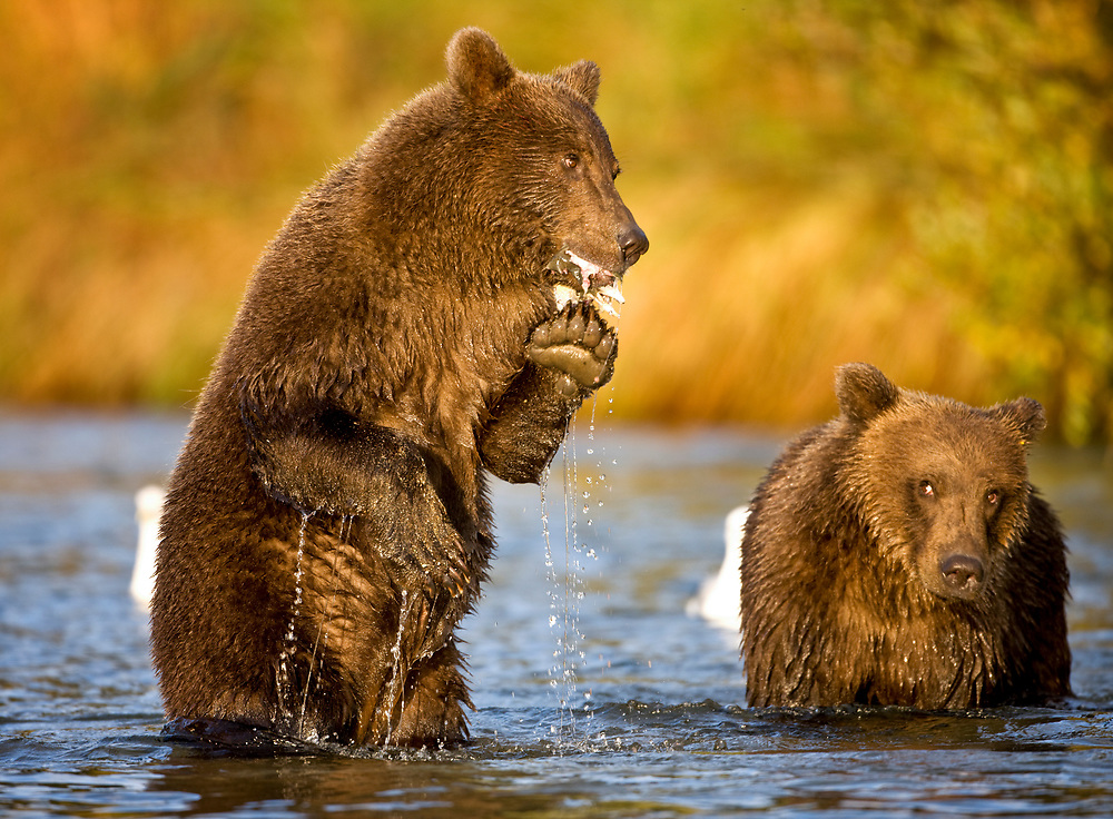 USA, Alaska, Katmai National Park, Kinak Bay, Brown Bear (Ursus arctos) second-year cubs feeding on spawning salmon in river on autumn morning