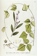 Hand painted botanical study of an Ixia (Corn Lily) flower anatomy from Fragmenta Botanica by Nikolaus Joseph Freiherr von Jacquin or Baron Nikolaus von Jacquin (printed in Vienna in 1809)