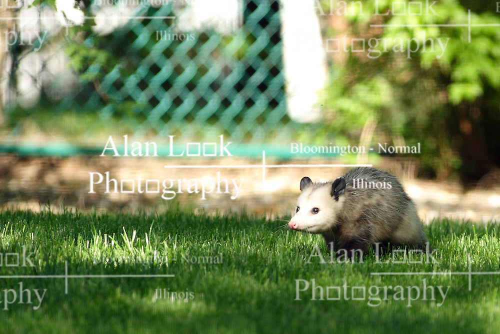 10 May 2005:   a female opossum navigates landscaping rocks near a wood step in the backyard of a midwest suburban home.