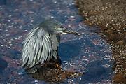 Lava Heron (Butorides sundevalli)<br /> Black Beach, Floreana Island, Galapagos<br /> Ecuador<br /> South America