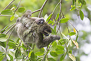 Pygmy three-toed sloth<br /> Bradypus pygmaeus<br /> Mother and four-month-old baby<br /> Isla Escudo de Veraguas, Panama