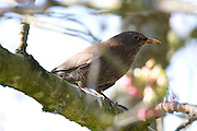 Female common blackbird (Turdus merula).