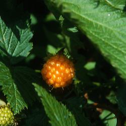 Salmonberry (Rubus spectabilis) near Harmony, Mt. St. Helens National Volcanic Monument, Washington, US