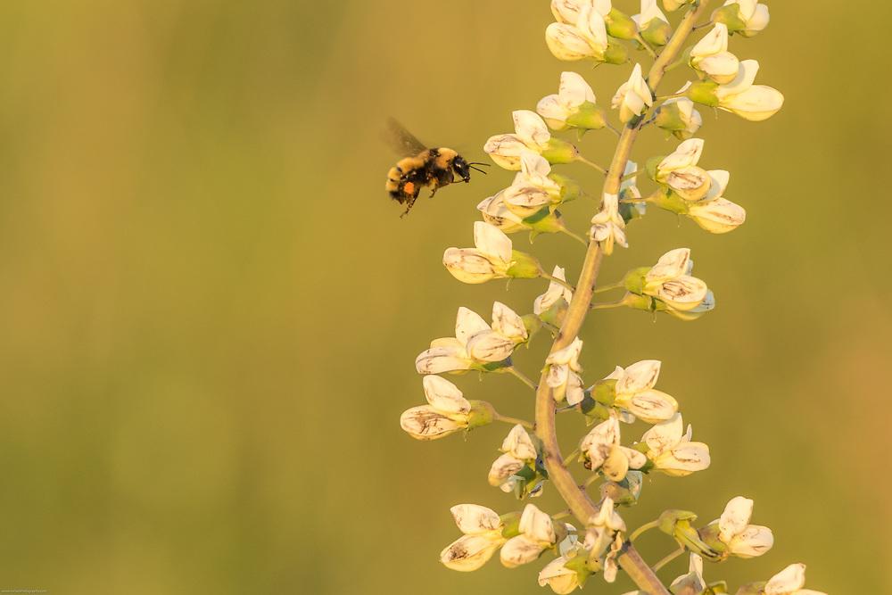 Bee collecting pollen from Wild White Indigo