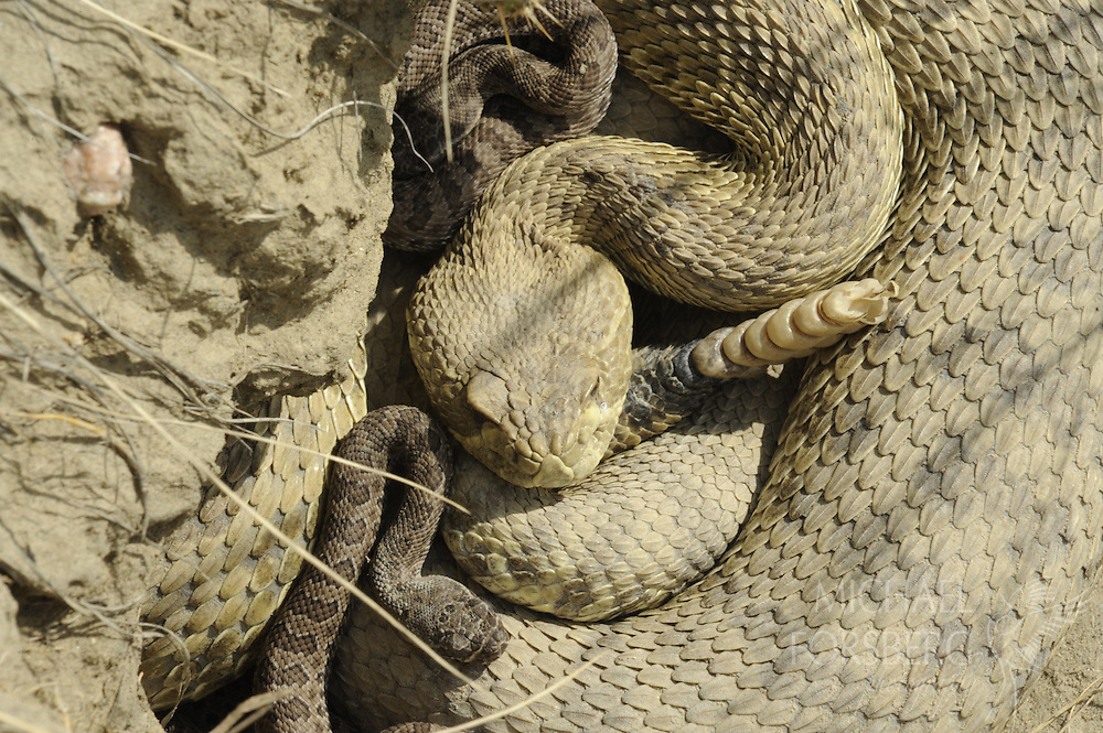 Near Medicine Hat, Alberta. ..Prairie rattlesnake den with adult male and young at Peigan Creek conservation area. ..