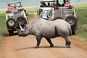 Tanzania, Tourist safari jeeps wait, as a Rhinoceros crosses the road,