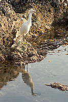 Snowy Egret (Egretta thula) Tide Pool Reflection, Little Corona Del Mar Beach, California