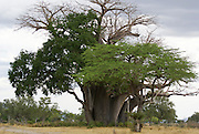 Tanzania wildlife safari Baobab Tree
