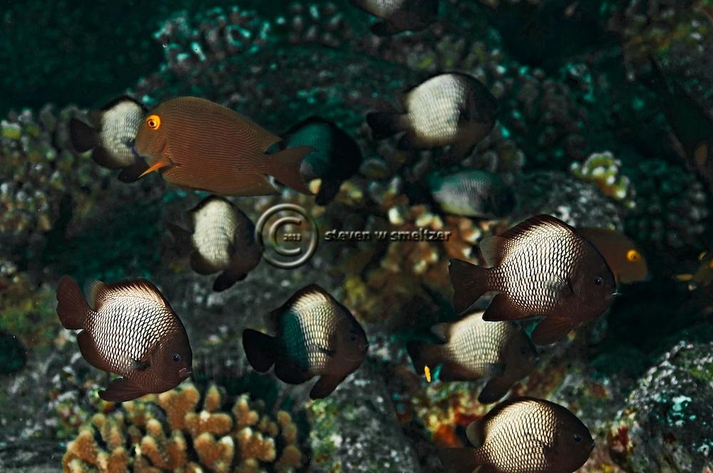 Hawaiian Dascyllus, Dascyllus albisella, Hawaii
