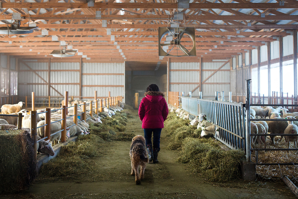 WESTBY, WI — DECEMBER 9: Brenda Jensen and her dog Gus walk through the primary barn at Hidden Springs Creamery.  The flock of sheep at Hidden Springs has grown from fifty to over 500.