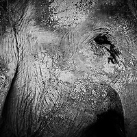 Elephant at the ECC centre in Lao.<br /> <br /> I provide their website address to support the conservation of elephants in Laos. <br /> <br /> www.elephantconservationcenter.com