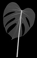 X-ray image of a split-leaf philodendron leaf (Monstera deliciosa, white on black) by Jim Wehtje, specialist in x-ray art and design images.