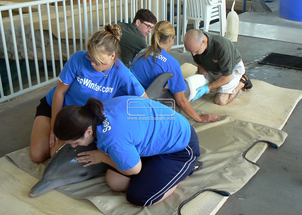 23rd October 2007. Clearwater, Florida. 'Flipper's Fishy Tale'. A major US prosthetic limb manufacturer has come to the aid of a dolphin in need. Prosthetic experts, Hanger Orthopedic Group, who normally tackle the toughest human amputation cases offered to make a tail for 'Winter', an Atlantic Bottlenose Dolphin. Two years ago, the Clearwater Marine Aquarium rescued Winter, after she became tangled in a crab trap. She was dehydrated and near death and the trap line had cut off circulation to her tail. The veterinarians had to amputate. The aquarium is now teaching Winter how to use her new tail, which has to be updated as the young dolphin grows. Pictured Winter having a new tail fitted. SUPPLIED BY REBEL IMAGES .Tel: 310 570 9100..