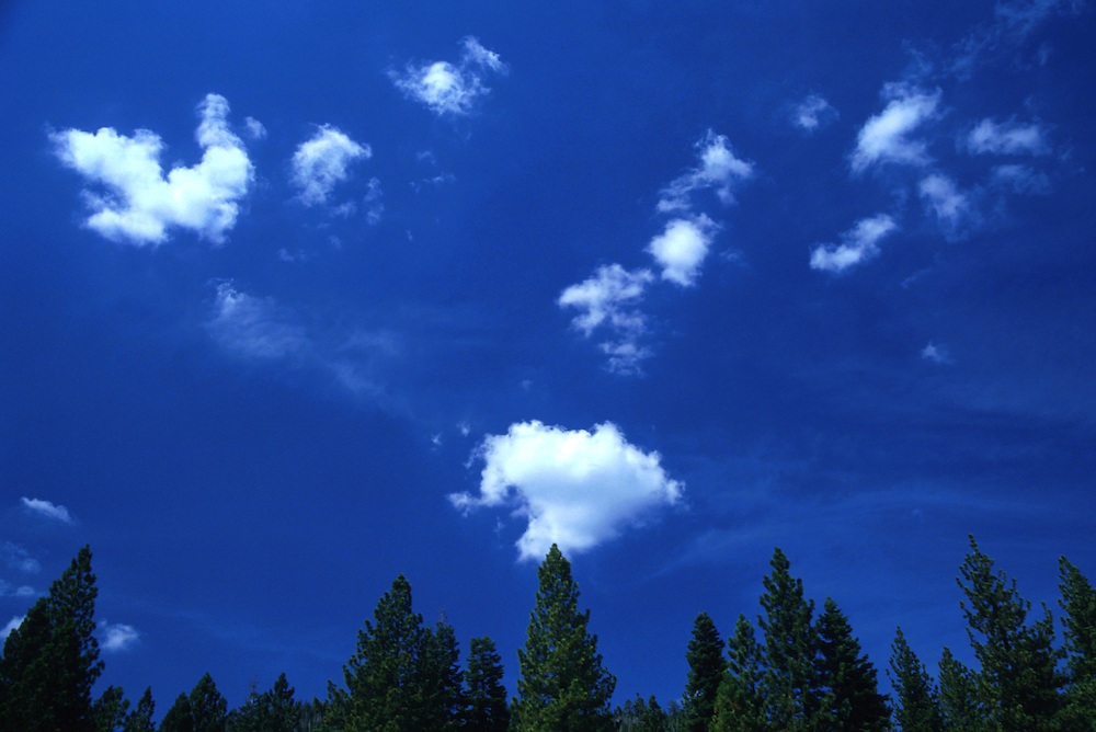 Puffy white clouds dot the sky over a row of pine trees . Lake Tahoe, California. 1994.