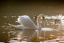 © Licensed to London News Pictures. 01/05/2018. Leeds UK. A Swan sits in the sunshine on the lake at Golden Acre Park in Leeds this morning as Yorkshire awoke to bright sunshine. Photo credit: Andrew McCaren/LNP