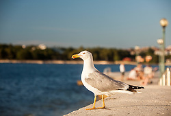 THEMENBILD - URLAUB IN KROATIEN, eine Möwe, aufgenommen am 03.07.2014 in Porec, Kroatien // a seagull in Porec, Croatia on 2014/07/03. EXPA Pictures © 2014, PhotoCredit: EXPA/ JFK