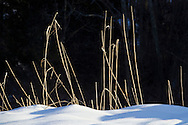 Chester, New York - Sun shines on tall grass in a snowy field at Goosepond Mountain State Park on March 9, 2013.
