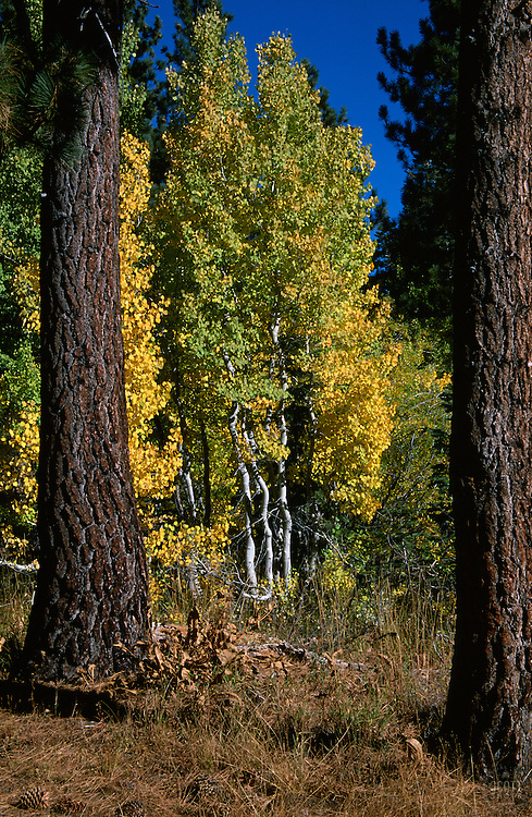 &quot;Autumn Aspens 3&quot;- Photographed in the Tahoe Donner area of Truckee, CA, near the Equestrian Center.<br /> Photographed: October 2003