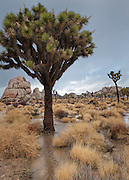 Joshua Tree (Yucca brevifolia) in the Mojave Desert, is ironically inundated by surface rain water runoff after a heavy rain storm in Joshua Tree National Park, California.  Several studies have been done on these centuries-old trees.  In a current study, ecologists from the US Geological Survey linked climate change to population decline and are modeling the impacts of climate change on their survival, and the possibility that 90 percent will be wiped out of their current range (and out of this national park) in 60 to 90 years.