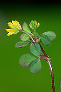 LESSER HOP TREFOIL Trifolium dubium (Fabaceae) Height to 20cm. Low-growing annual. Similar to Hop Trefoil but hairless. Found in dry, grassy places. FLOWERS are 3-4mm long and yellow; borne in compact, rounded heads, 8-9mm across (May-Oct). FRUITS are pods, cloaked by brown dead flowers in hop-like heads. LEAVES are trifoliate with oval leaflets. STATUS-Widespread and common throughout.