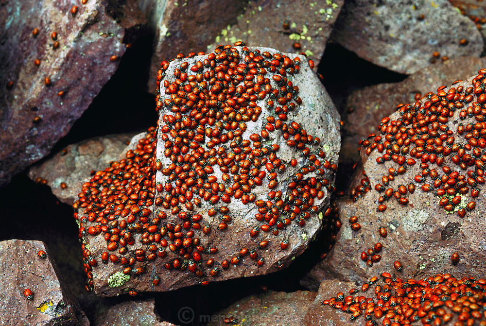 Ladybugs swarming on top of Timber Peak above the Langmuir Atmospheric Research Lab, near Socorro, New Mexico. USA..