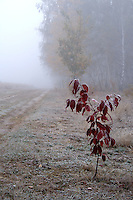 Frozen plant on meadow - foggy weather