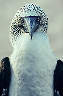 Portrait of a blue-footed booby (Sula nebouxii), Espanola, Galapagos Islands, Ecuador