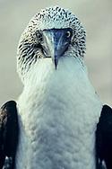Portrait of a blue-footed booby (Sula nebouxii), Espanola, Galapagos Islands, Ecuador